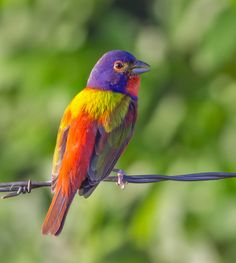 Painted Bunting by David Bose on 500px