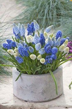 Blue and White Muscari of Spring Love Flowers, Spring Flowers, Beautiful Flowers, Arrangements Ikebana, Floral Arrangements, Deco Floral, Arte Floral, Spring Bulbs, Garden Inspiration