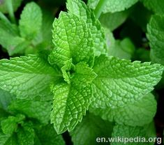 Mint leaves detail