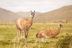 The second part of our visit in Torres del Paine - many llamas (vicuñas), mountains, waterfalls, woodpeckers. Join us and see for yourself :) Cute Llama, Woodpeckers, Llamas, Funny Cute, Travel Around, Waterfalls, Patagonia, South America, Travelling