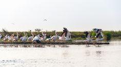 Group of pelicans preparing for flight Danube Delta, Study Help, Dolores Park, Bible, Green, Travel, Biblia, Viajes, The Bible