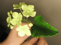 I was really fortunate to be able to take the Ultimate Gum Paste Flower Class from Nicholas Lodge for the past 5 days. The class was AWESO...