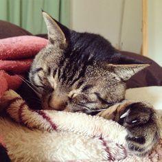 「おはムサシ! さむねむ。I still sleep with my blanket. #musashi #mck #cat #キジトラ #ムサシさん」