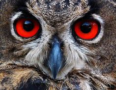The eyes have it.........RED IS THE COLOR OF MY LITTLE OWL'S EYES AND HIS BEAK HAS A TINGE OF BLUE--(SOUNDS LIKE THE BEGINNING OF A POEM, DOESN'T IT??)....................ccp
