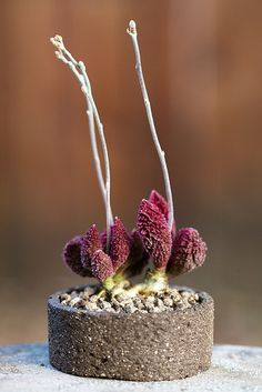 Adromischus marianae v.herrei red coral by ktvamp, via Flickr