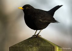 Blackbird.....we have a pair that nest in our potting shed every year.