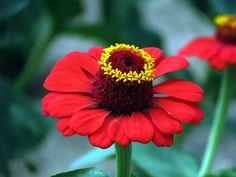 Crêpe Myrte, Fleurs, Nature, Automne
