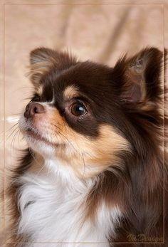 langhaar chihuahua hunde pinterest langhaar chihuahua langhaar und hunde. Black Bedroom Furniture Sets. Home Design Ideas