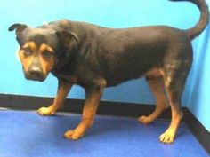 TO BE DESTROYED 10/16/13  Manhattan Center ~DOUGLAS.~ID # is A0981553.I am a male black and tan rottweiler mix.2 YEARS I came in the shelter as a STRAY on 10/09/2013 Douglas is in a strange place, surrounded by other frightened/excited dogs. Who know how long this pup had to fend for itself, or what his life was before. Please help us find a place to help Douglas feel safe & trust again.