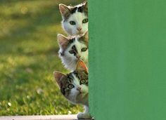 Cute Kittens cats peek a boo Funny Cats, Funny Animals, Cute Animals, Beautiful Cats, Animals Beautiful, Gatos Cats, Photo Chat, Curious Cat, Cute Kittens