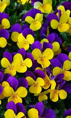 ~~Viola cornuta ~ Johnny Jump-Up, vibrant blooms are deep purple and yellow, creating a solid carpet of color for weeks Amazing Flowers, Beautiful Flowers, Beautiful Flower Arrangements, Snacks Für Party, Jolie Photo, Flower Pictures, Flower Wallpaper, Pansies, Beautiful Gardens