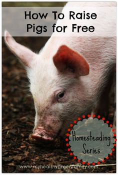How To Raise Pigs For Free