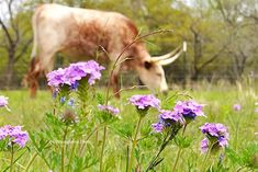 Visit our Texas longhorn blog - this post : Beyond Bluebonnets - 6 Texas wildflowers with similar hues #gvrlonghorns #texaslonghorncattle #texaswildflowers #bluebonnets #Prairieverbena Longhorn Cow, Longhorn Cattle, Texas Farm, Texas Ranch, Cattle Farming, Livestock, Cattle For Sale, Green Valley Ranch, Raising Cattle