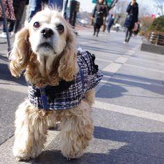 귀엽고 시크한 강아지옷 CoCCoLa 코콜라 coccola.co.kr/ 코카옷 중형견옷  코콜라 마이 리틀 트위드 자켓