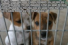 """Dog adoption & surgery - If anyone is ever in this situation please consider.   """"In the U.S. if your dog needs a kidney transplant, you can take one from a stray animal. The only stipulation is that you adopt the donor animal afterwards, so that """"two lives are saved, rather than one lost to kidney disease and one to euthanasia."""""""