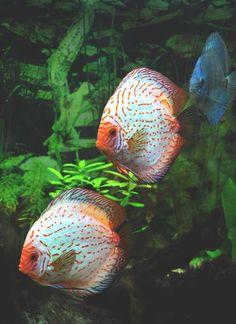 Rainbow Discus Fish | ... Fish, Discus Fish, Rainbows Fish, Aquarium Fish, Disc Fish, Animal