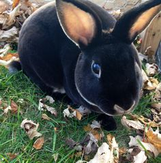 Cats are in a class of their own when it comes to animals. They are by far one of the best pets for the home. Black Otter Rex Rabbit, Mini Rex Rabbit, Pet Rabbit, Cute Baby Bunnies, Funny Bunnies, Rare Animals, Animals And Pets, Coelho Rex, Bunny Care