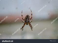 Find Spider Eating Fly On His Web stock images in HD and millions of other royalty-free stock photos, illustrations and vectors in the Shutterstock collection. Garden Spider, European Garden, Insects, Photo Editing, Royalty Free Stock Photos, Pictures, Image, Spinning, Photos