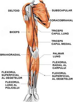 muscles of the arm anterior view Arm Muscle Anatomy, Arm Anatomy, Human Anatomy, Bicep Muscle, Muscle Body, Nerve Anatomy, Muscle Diagram, Bicep Tendonitis, Good Arm Workouts