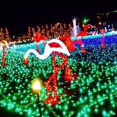 Instagram【frame.5.16】さんの写真をピンしています。 《#イルミネーション#ライトアップ #nightview#埼玉#東武動物公園#illumination #2016#綺麗#view#景色#夜#キラキラ#写真#pic#picture#夜景#blue#青#color#色彩#colorful#フラミンゴ》