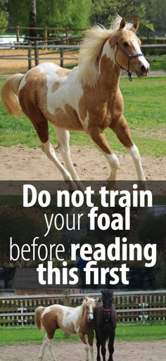 If you have a young horse, you are probably going to want to read this. Foal training is shapes the way your horse is going to be for the rest of his life. Here is what I do to make sure that my foal turns into a great horse that learns fast, is happy next to me and respects my leadership.