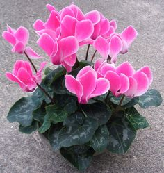 Pink Cyclamen centerpieces in black and white fabric wrapped clay pots with big pink grosgrain ribbon bows