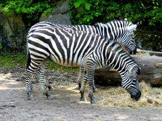 #zebra #zèbre