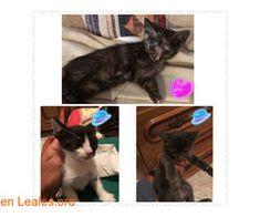 Buscamos un hogar! ℹ   #Adopta con #Canarias  Lindos gatitos en adopción!  Son 2 machos y 1 hembra tienen apenas 2 meses y ya están listos para tener un hogar para el resto de sus vidas..  Te vas a resisitir?   En todos los navegadores: Leales.org y en todas las redes sociales: @lealesorg  #Adopción  Contacto y Info: Pulsar la foto o aquí: https://leales.org/en-acogida-o-adopcion/gatos-en-adopcion/buscamos-un-hogar_i4140    Acerca de esta publicación:   Esta publicación NO ha sido creada por…