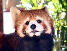 hcpsafari ポケ~…としているジャジャちゃん 暖かくていい気持ち~(^ω^)?♪ #姫路セントラルパーク #サファリ #レッサーパンダ #himejicentralpark #safari #redpanda Himeji Central Park 2018/03/23 16:30:29