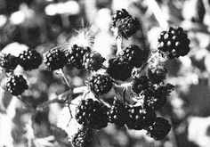 Blackberries: they get made into treats, including the love potion that is homemade blackberry liqueur. (Recipe: seven pints blackberries, six cups sugar, three liters of vodka. Put in jar, store in cool place for two months. Strain and bottle. Drink while listening to the Rolling Stones.)