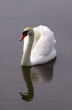 Serene.....Swan