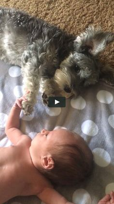 My 10 day old grand daughter & 11 month old mini schnauzer interacting for the first time. So sweet! I love how gentle Lillie is with the baby.