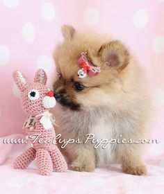 161 Best Elegant Pomeranian Puppies For Sale! images in 2019