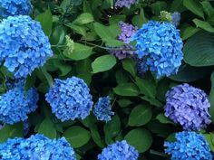 Easily change the color of your hydrangea flowers by changing the soil's Ph. Check these details of how to change hydrangea colors and enjoy the color show! Hydrangea Color Change, Hydrangea Colors, Hydrangeas, Growing Flowers, Growing Plants, Planting Flowers, Hydrangea Garden, Hydrangea Flower, Outside Plants