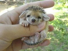 It's a baby hedgehog! Look at those little ears!