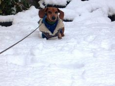 Derpy doxies find thrills and chills as they frolic through the snow.