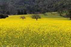 Field of mustard flowers   Flickr - Photo Sharing!