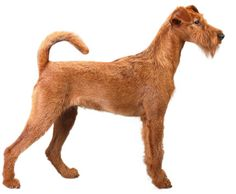 Irish Terrier-- an excellent watch/guard dog. Very devoted to his family, and very protective. Loves to be active.