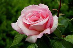 Rose - Jahreszeiten - Galerie - Community