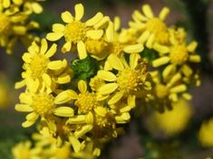 Euryops virgineus is a really pretty bush but relatively short-lived and tends to get leggy as it gets older and we found it didn't really like pruning. Evergreen Shrubs, Getting Old, Pretty, Flowers, Plants, Lawn And Garden, Getting Older, Plant, Royal Icing Flowers