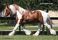 Gypsy Vanner Horses for Sale | Stallion | | Crescendo