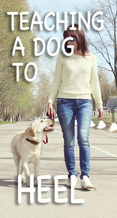 Teaching a dog to heel can be quite a challenge - The Labrador Site helps you succeed