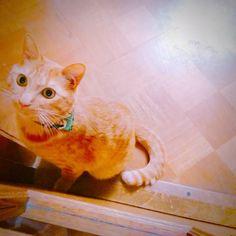 おはようごじゃいます ちゃきんおはよう(=ᆺ=)ฅ #ねこ #猫 #ぬこ #cat #catlover #instacat  #茶トラ #小黄 #ねこちゃん#ねこちん #にゃんこ #고양이 #mèo #야옹 #야옹이  #ちゃきん #ちゃきんずし #ChakinZushi #モフモフ  Good morningღ