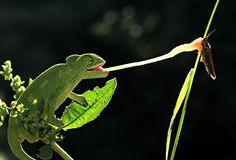 mehmet karaca chameleon hunting with the tongue