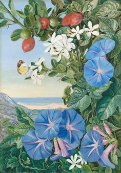 Painted at the mouth of the Kowie River. Trees of the Amatungula (Carissca grandiftora) are shown in 363. The Ipomoea is I. mutabilis, Edwards, a native of Mexico and the West Indies, and only a colonist in South Africa. Marianne North