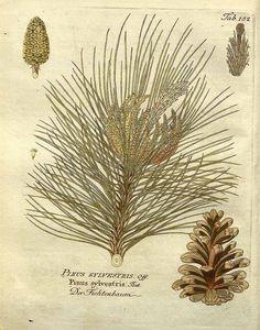 スコッチ・パイン Scotch pine Pinus sylvestris L.   Vietz (1804)
