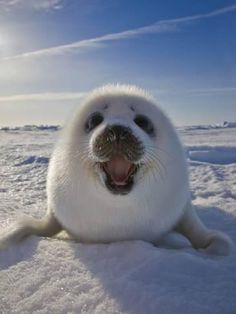 Funny animals: Cute and hilarious photos Happy cute seal pup Harp Seal Pup, Baby Harp Seal, Baby Seal, Cute Funny Animals, Cute Baby Animals, Animals And Pets, Smiling Animals, Happy Animals, So Cute Baby