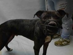 KILLED!!! SHAME NY!!! ✨Rest In Peace Lucky✨POOR SWEETHEART!! LOOK AT THIS!!! Brooklyn Center LUCKY – A1098668 **DOH – B HOLD** NEUTERED MALE, BLACK / WHITE, AM PIT BULL TER MIX, 1 yr OWNER SUR – ONHOLDHERE, HOLD FOR DOH-B Reason BITEANIMAL Intake condition EXAM REQ Intake Date 12/04/2016, From NY 11208, DueOut Date 12/13/2016,