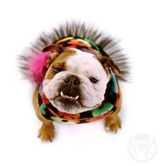 English Bulldog Rainbow Flower Plush Pullover Coat by ForRosie