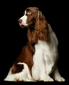 Springer Spaniel .....I have had 2 of these dogs and they r amazing dogs .